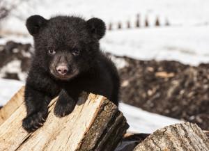 Black bear cub playing on wood stock