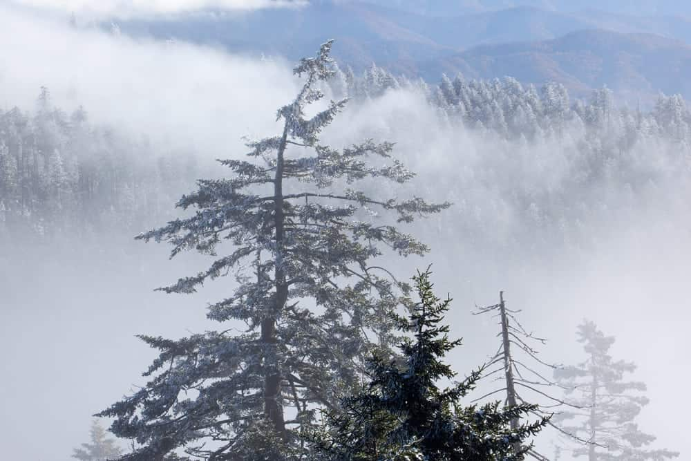 Tree from Clingmans Dome covered in snow and fog